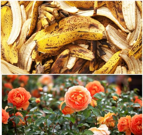 Effektivnoe-udobrenie-iz-bananovoj-kozhury-dlya-rastenij
