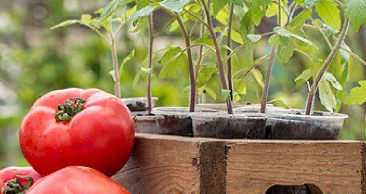 Kakie-sorta-tomatov-luchshe-vsego-vyrashhivat-na-rassadu