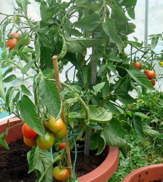 Pomidory-budut-sladkimi-i-vkusnymi