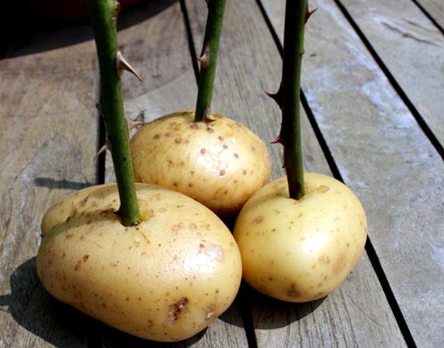Posadka-cherenkov-roz-v-kartofeline