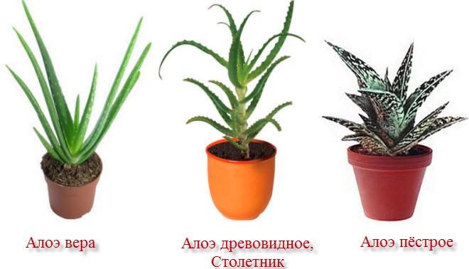 aloe-raznovidnost-aloe-foto-opisanie