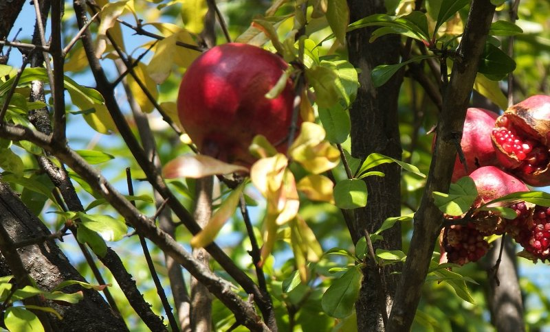 sady-granata-plody-na-dereve