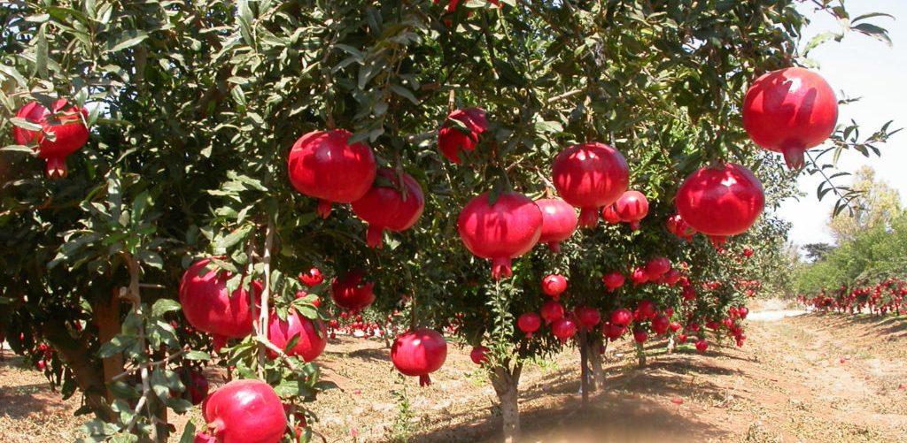 sady-granata-vse-o-granate-svojstva-polza-foto