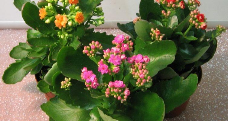 tsvety-kalanhoe-foto-poleznye-svojstva-vyrashhivanie-i-uhod...