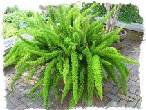 komnatnye-tsvety-po-znaku-Zodiaka-bliznetsy-asparagus