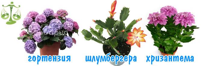 komnatnye-tsvety-po-znaku-zodiaku-dlya-vesov