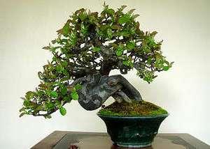 tsvety-po-znaku-zodiaka-deva-foto-bonsai