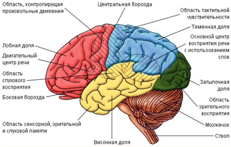 mozg-obshhee-anatomicheskoe-stroenie-golovnogo-mozga-infografika-foto...