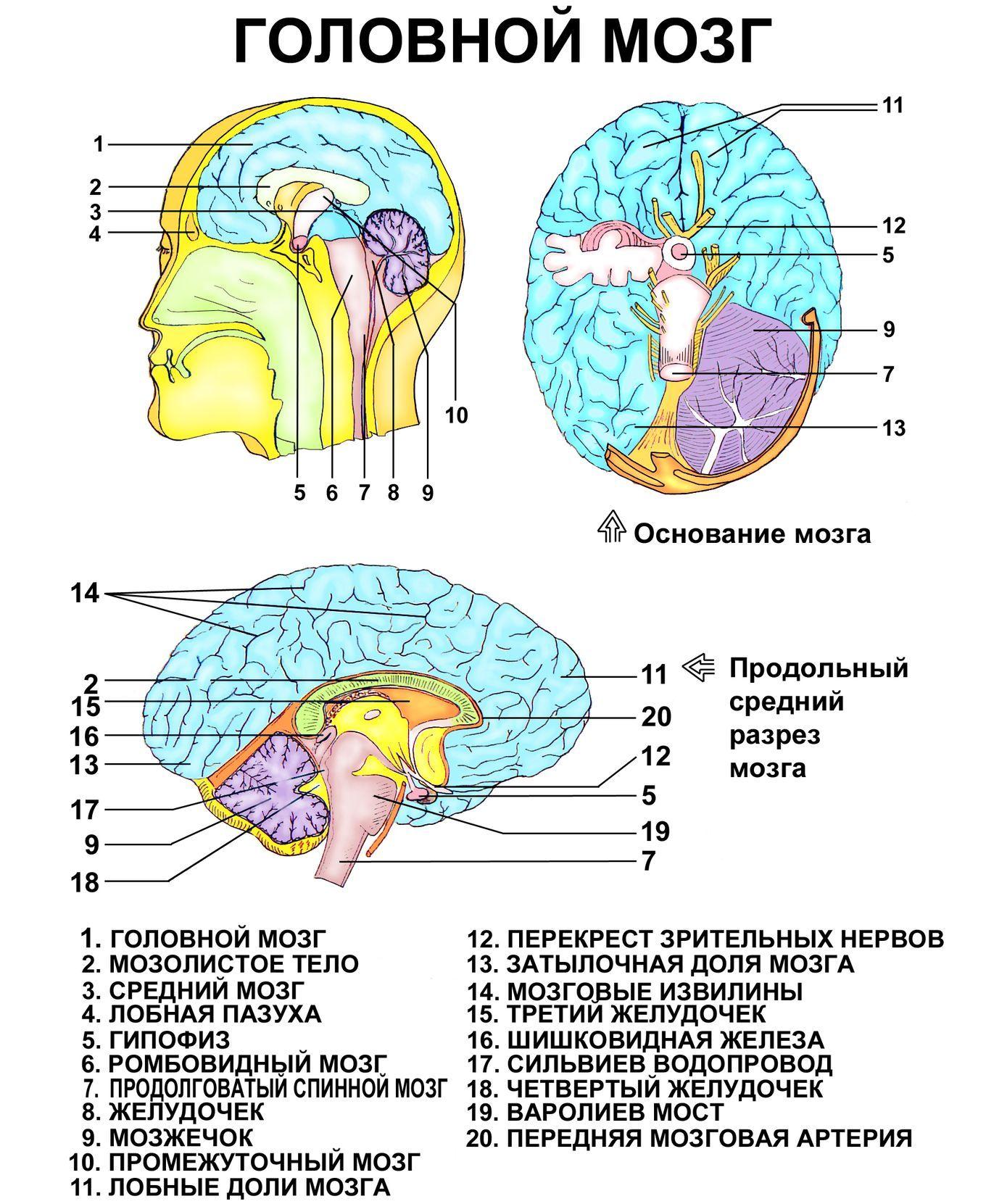 mozg-obshhee-anatomicheskoe-stroenie-golovnogo-mozga-infografika...