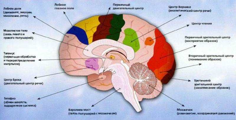 mozg-osnovnye-funktsionalnye-tsentry-mozga-infografika