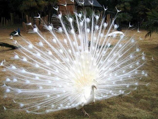 samye krasivye ptitsy mira belyj pavlin