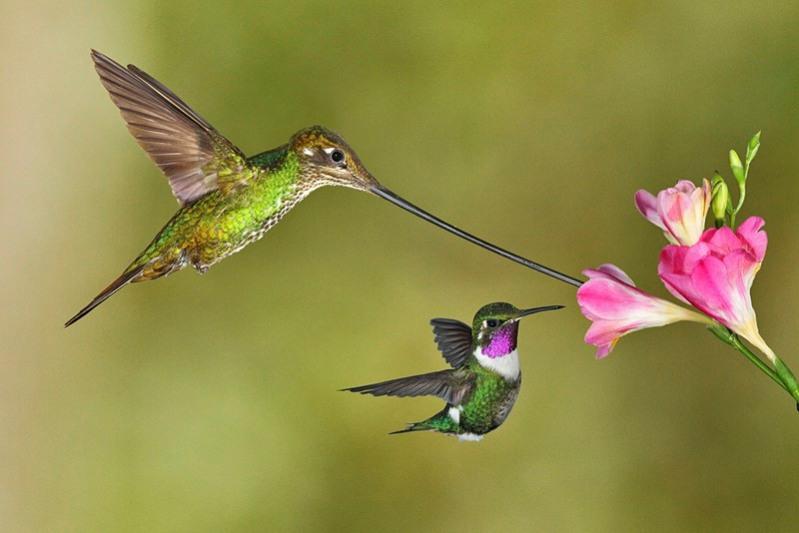 samye-krasivye-ptitsy-mira-kolibri-1