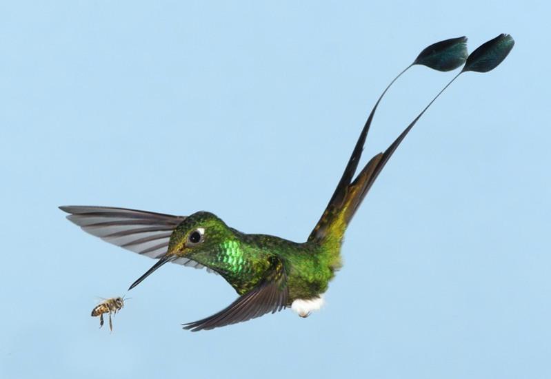 samye-krasivye-ptitsy-mira-kolibri-2