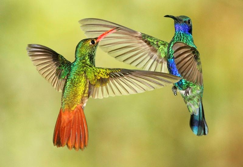 samye-krasivye-ptitsy-mira-kolibri-6