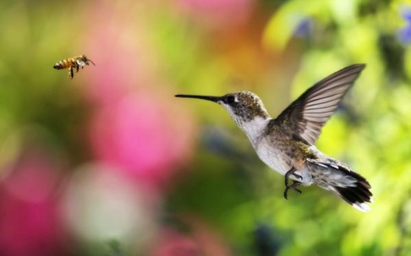 samye-krasivye-ptitsy-mira-kolibri