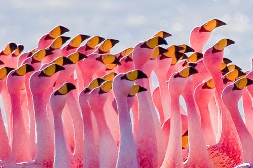 samye-krasivye-ptitsy-mira-rozovyj-flamingo-1