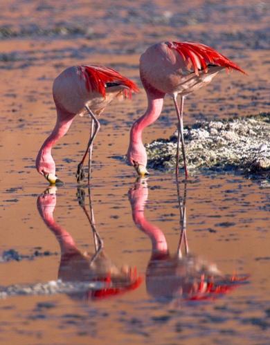 samye-krasivye-ptitsy-mira-rozovyj-flamingo-2