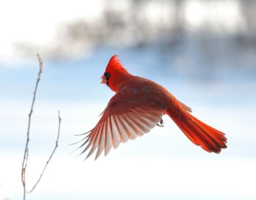 samye-krasivye-ptitsy-mira-severnyj-kardinal-1