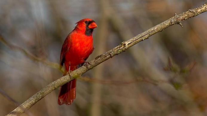 samye-krasivye-ptitsy-mira-severnyj-kardinal