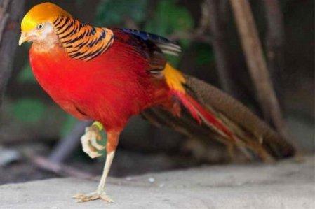 samye-krasivye-ptitsy-mira-zolotoj-fazan