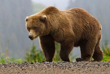 slavyanskij-zverinyj-goroskop-znachenie-medved