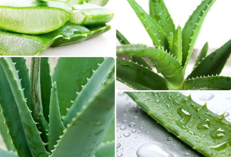 narodnye-sredstva-ot-zubnoj-boli-Aloe