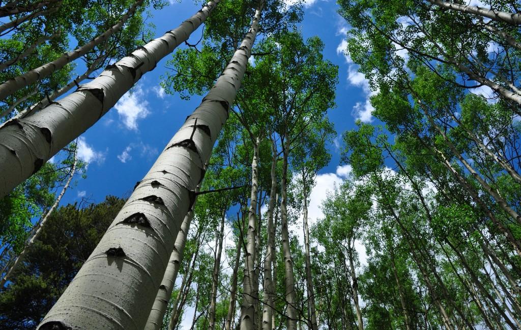 картинки осинового дерева бабулина хитрость, которая