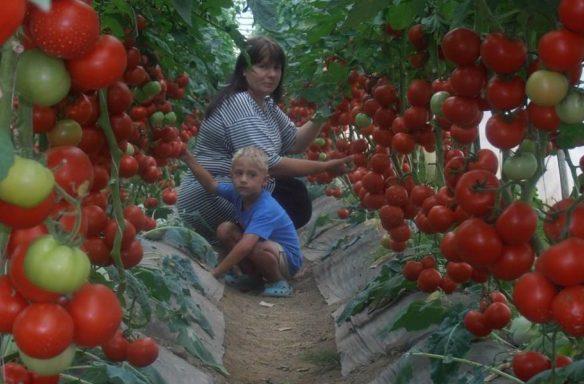 chem-podkarmlivat-pomidory-chtoby-byl-obilnyj-horoshij-urozhaj-retsept-podkormki-vybor-sorta-tamatov