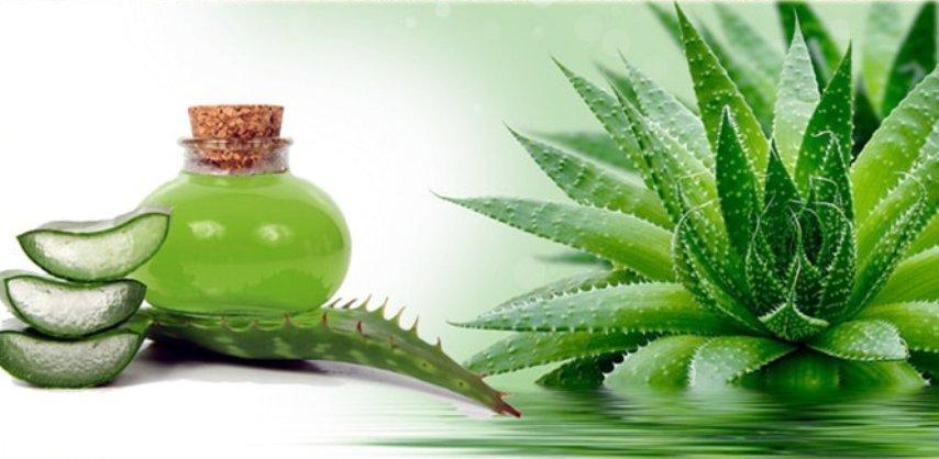 chem-polezno-rastenie-Agava-sok-agavy-sirop-nastojki-opisanie-poleznyh-svojstv...
