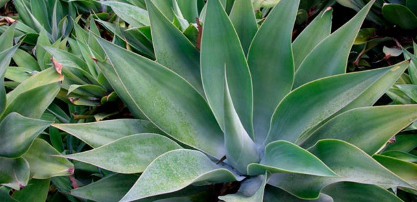 chem-polezno-rastenie-Agava-sok-agavy-sirop-nastojki-opisanie-poleznyh-svojstv