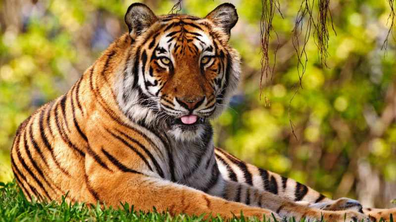 chto-znachit-uvidet-vo-sne-tigra...