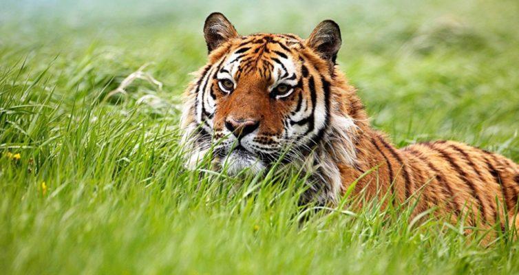 chto-znachit-vo-sne-uvidet-tigra...