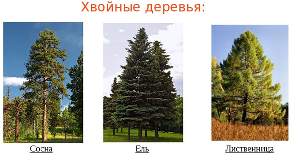 prodolzhitelnost-zhizni-raznyh-derevev-hvojnye-derevya
