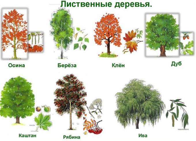 prodolzhitelnost-zhizni-raznyh-derevev-listvennye-derevya-foto
