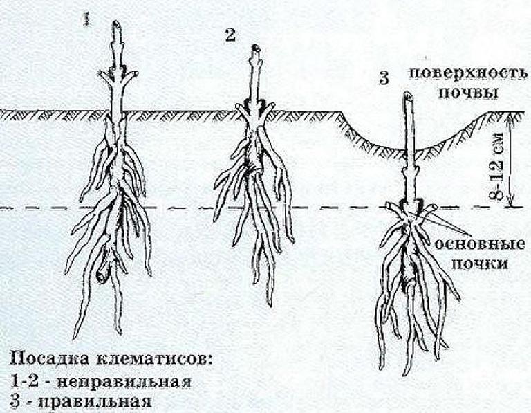kak-sazhat-i-vyrashhivat-tsvety-klematisy-v-sadu-opisanie-ot-opytnogo-sadovoda-foto-shema-pravidbnoj-posadki