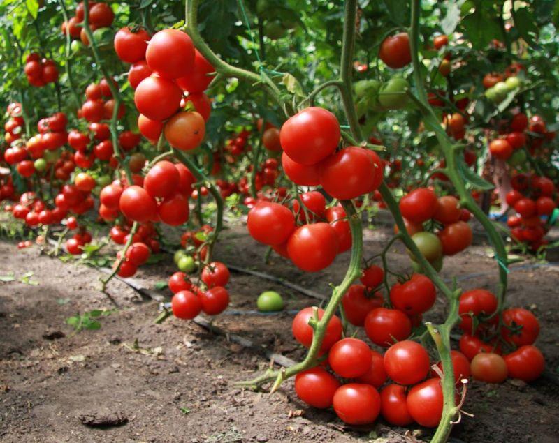 kakoj-luchshij-sposob-borby-s-fitoftorozom-tomatov-bez-himii-otvet-sadovoda