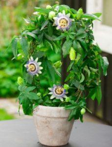 komnatnye-tsvety-pasiflora-sorta-tsvetov-vyrashhivanie-i-uhod-za-rasteniem-foto-domashnej-pasiflory