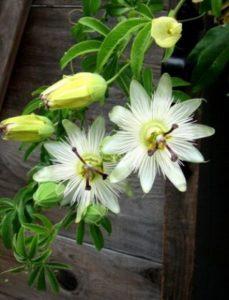 komnatnye-tsvety-pasiflora-sorta-tsvetov-vyrashhivanie-i-uhod-za-rasteniem-foto-domashnej-pasiflory-3