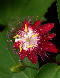 komnatnye-tsvety-pasiflora-vidy-i-sorta-tsvetov-vyrashhivanie-i-uhod-za-rasteniem-foto-domashnej-pasiflory-10