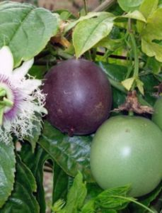 komnatnye-tsvety-pasiflora-vidy-i-sorta-tsvetov-vyrashhivanie-i-uhod-za-rasteniem-foto-domashnej-pasiflory-13