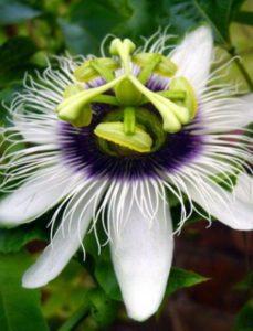 komnatnye-tsvety-pasiflora-vidy-i-sorta-tsvetov-vyrashhivanie-i-uhod-za-rasteniem-foto-domashnej-pasiflory-16