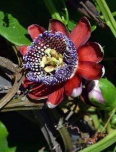 komnatnye-tsvety-pasiflora-vidy-i-sorta-tsvetov-vyrashhivanie-i-uhod-za-rasteniem-foto-domashnej-pasiflory-20