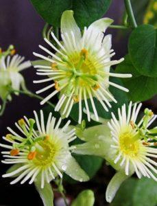 komnatnye-tsvety-pasiflora-vidy-i-sorta-tsvetov-vyrashhivanie-i-uhod-za-rasteniem-foto-domashnej-pasiflory-23