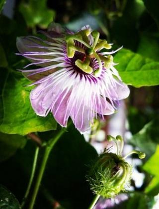 komnatnye-tsvety-pasiflora-vidy-i-sorta-tsvetov-vyrashhivanie-i-uhod-za-rasteniem-foto-domashnej-pasiflory-26