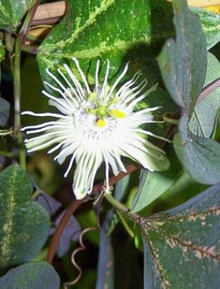 komnatnye-tsvety-pasiflora-vidy-i-sorta-tsvetov-vyrashhivanie-i-uhod-za-rasteniem-foto-domashnej-pasiflory-30