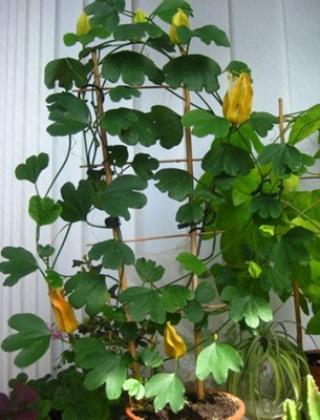 komnatnye-tsvety-pasiflora-vidy-i-sorta-tsvetov-vyrashhivanie-i-uhod-za-rasteniem-foto-domashnej-pasiflory-32