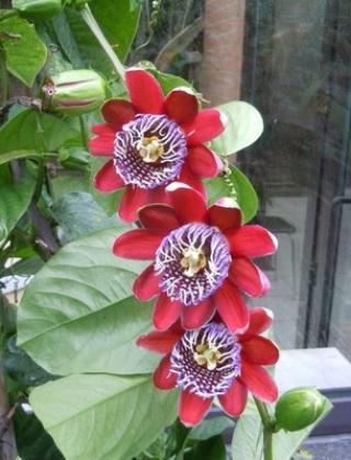 komnatnye-tsvety-pasiflora-vidy-i-sorta-tsvetov-vyrashhivanie-i-uhod-za-rasteniem-foto-domashnej-pasiflory-36