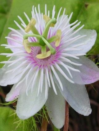 komnatnye-tsvety-pasiflora-vidy-i-sorta-tsvetov-vyrashhivanie-i-uhod-za-rasteniem-foto-domashnej-pasiflory-39