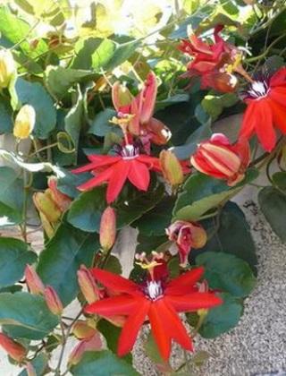 komnatnye-tsvety-pasiflora-vidy-i-sorta-tsvetov-vyrashhivanie-i-uhod-za-rasteniem-foto-domashnej-pasiflory-40