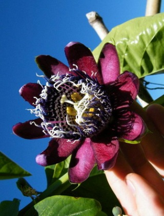 komnatnye-tsvety-pasiflora-vidy-i-sorta-tsvetov-vyrashhivanie-i-uhod-za-rasteniem-foto-domashnej-pasiflory-43